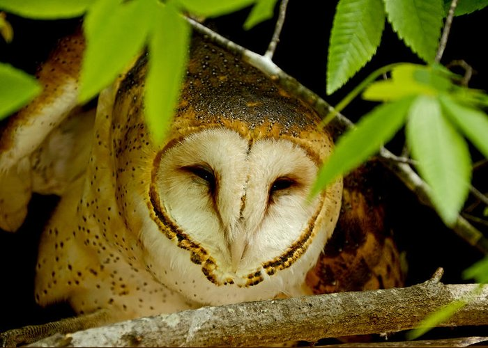 Owl Greeting Card featuring the photograph Peering Barn Owl by Eric Albright
