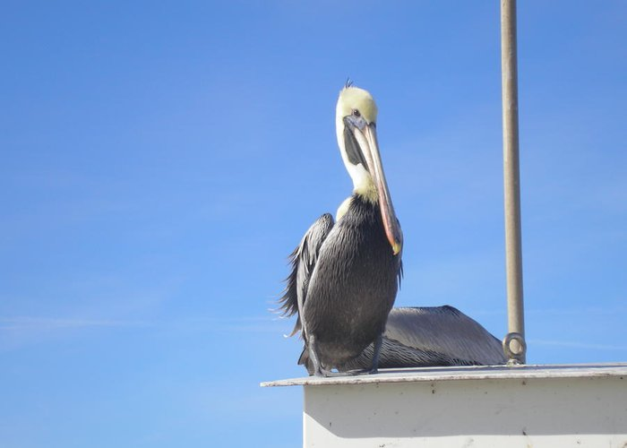 Ocean Greeting Card featuring the photograph Pelican 1 by Renato Gonzalez
