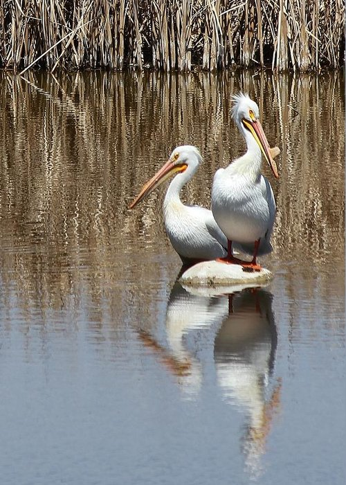 American White Pelican Greeting Card featuring the photograph Pelican Deuce by Diane Alexander