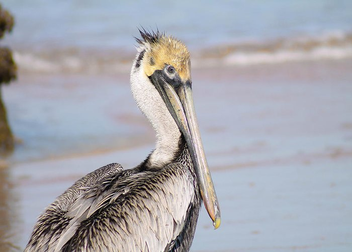 Bird Greeting Card featuring the photograph Pelican In Need by Jessica Brown