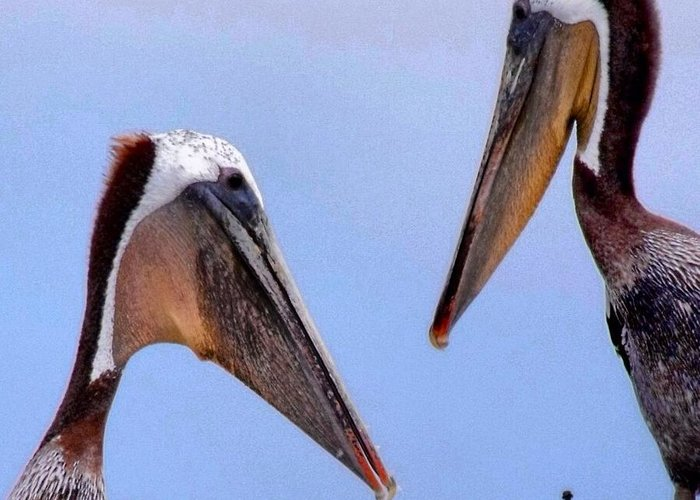 Bird Greeting Card featuring the photograph Pelican Pair by Phil Huettner