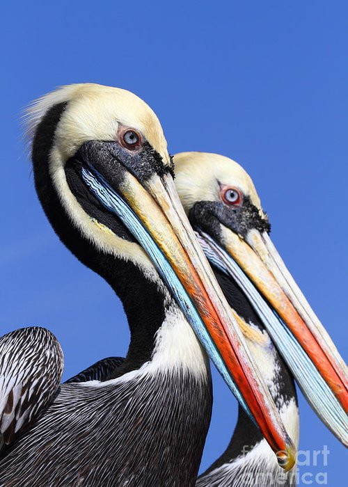 Pelican Greeting Card featuring the photograph Pelican Perfection by James Brunker