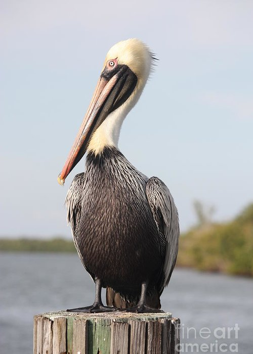 Pelican Greeting Card featuring the photograph Pelican Pose by Carol Groenen
