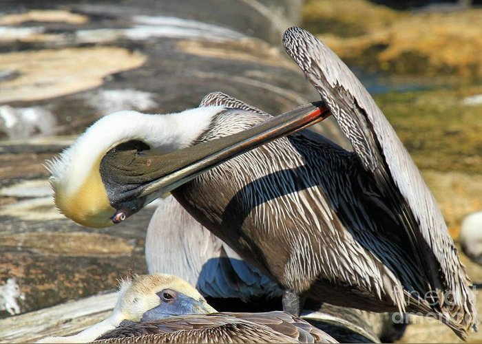 Pelican Greeting Card featuring the photograph Pelican Scratch by Adam Jewell