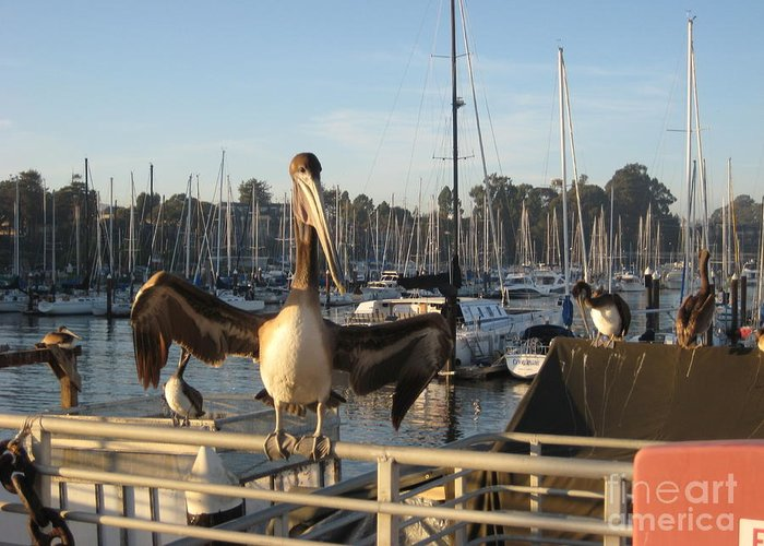 Pelicans In Santa Cruz Greeting Card featuring the photograph Pelican1 by Theresa Ramos-DuVon