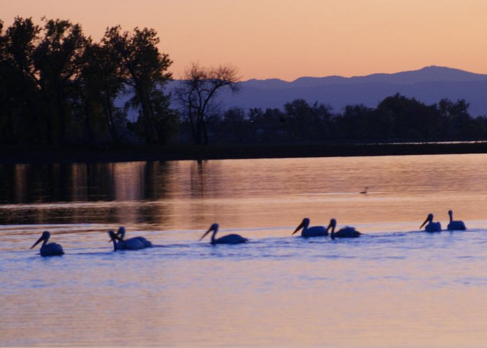Pelicans Greeting Card featuring the photograph Pelicans On Parade by Phyllis Britton