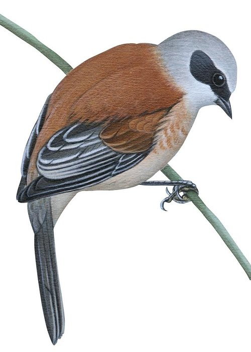 No People; Vertical; Side View; Full Length; One Person; One Animal; Animal Themes; Nature; Wildlife; Beauty In Nature; Simplicity; Uline Tit; Remiz Pendulinus; Twig; Perching Greeting Card featuring the drawing Penduline Tit by Anonymous