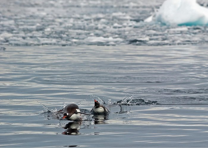 Iceberg Greeting Card featuring the photograph Penguins In The Water by Jim Julien / Design Pics