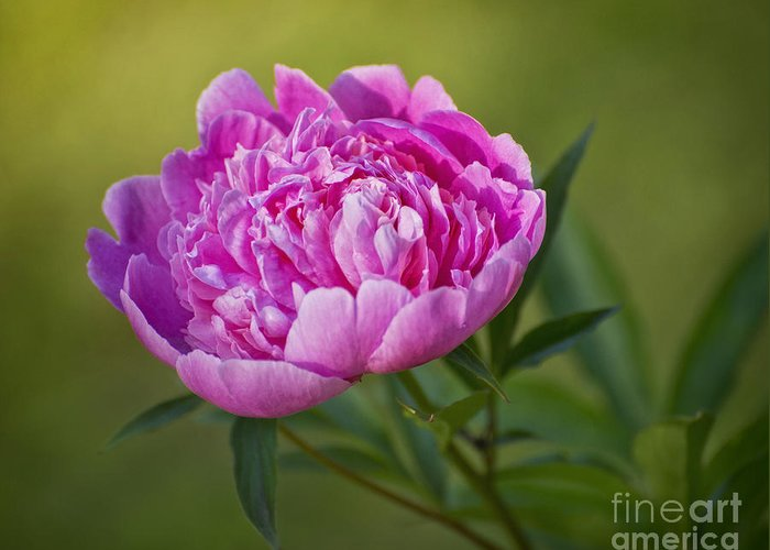 Pink Greeting Card featuring the photograph Peony by Claudia Kuhn