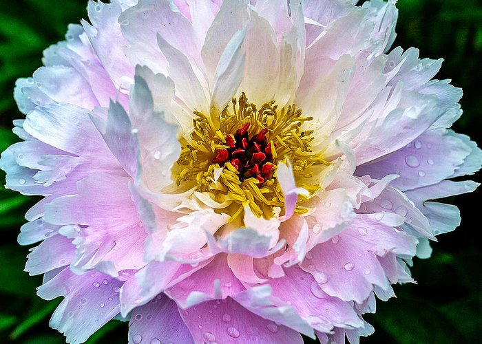 Peony Greeting Card featuring the photograph Peony Flower by Edward Fielding
