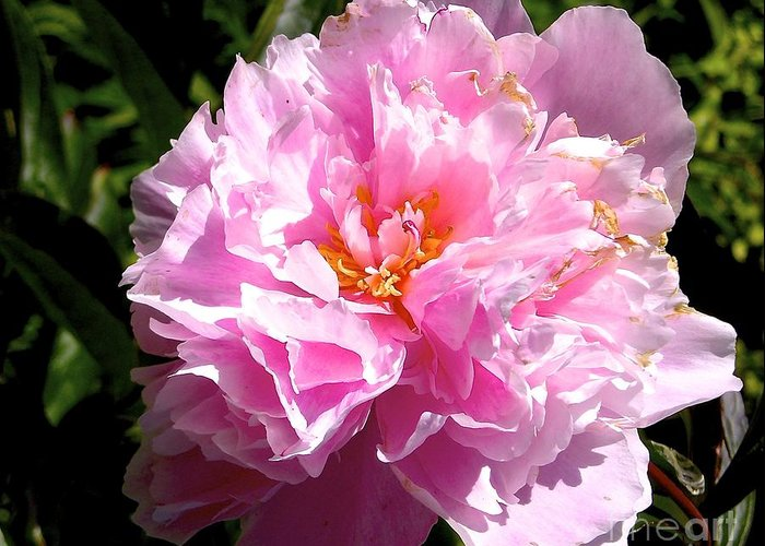 Flower Greeting Card featuring the photograph Peony by Sher Nasser