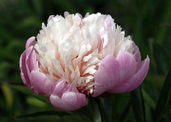 Peony Greeting Card featuring the photograph Peony Sorbet by Kristy Jeppson