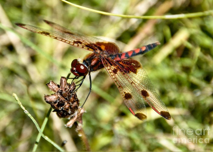 Dragonfly Greeting Card featuring the photograph Perched Dragon by Cheryl Baxter