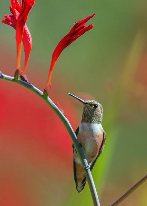 Hummingbird Greeting Card featuring the photograph Perched On Crocosmia by Angie Vogel