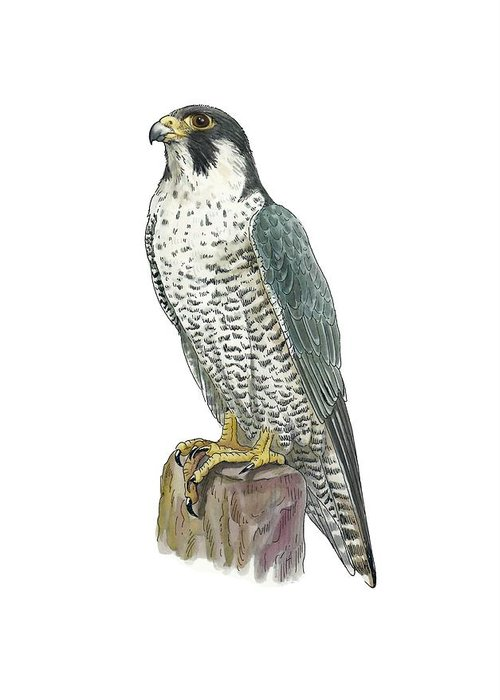 Cutout Greeting Card featuring the photograph Peregrine Falcon, Artwork by Science Photo Library