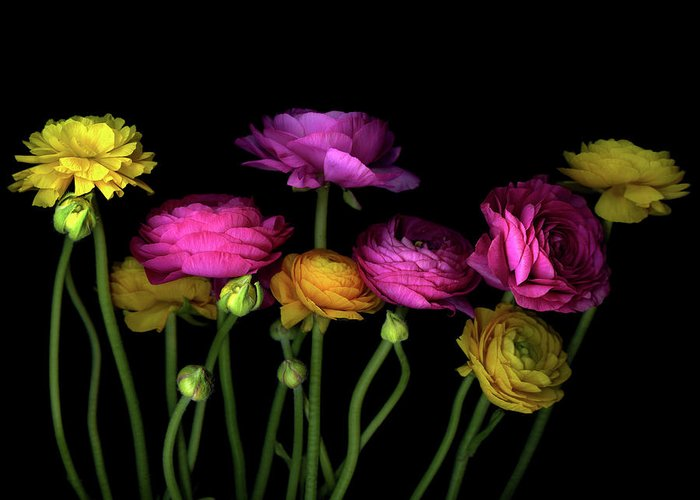 Black Background Greeting Card featuring the photograph Persian Buttercups Ranunculus Asiaticus by Photograph By Magda Indigo