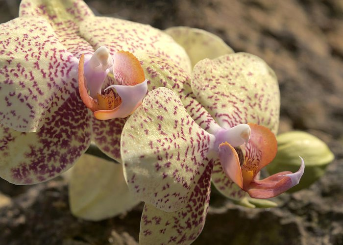 Orchid Greeting Card featuring the photograph Phal 4703 by Terri Winkler