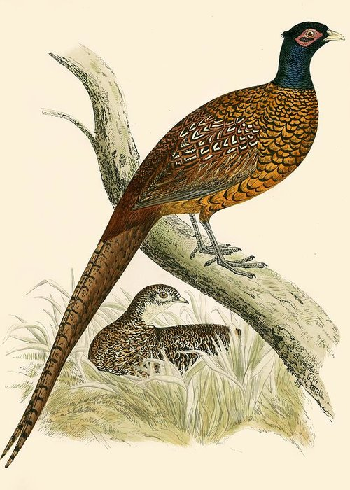 Pheasant Greeting Cards