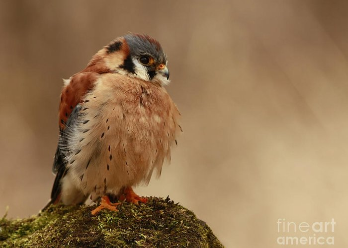 Picture Greeting Card featuring the photograph Picture Perfect American Kestrel by Inspired Nature Photography Fine Art Photography