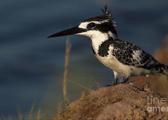 Pied Kingfisher Greeting Card featuring the photograph Pied Kingfisher by Mareko Marciniak