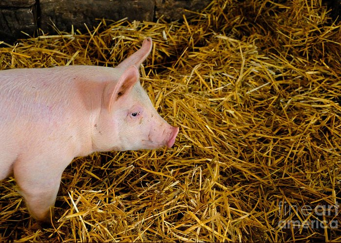 Animal Greeting Card featuring the photograph Pig Standing In Hay by Amy Cicconi