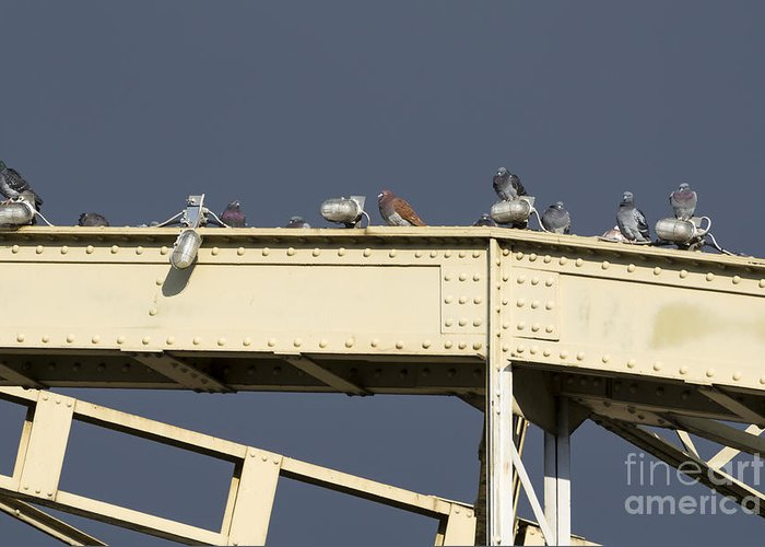 Animal Greeting Card featuring the photograph Pigeons On The Bridge by Ferenc Kosa