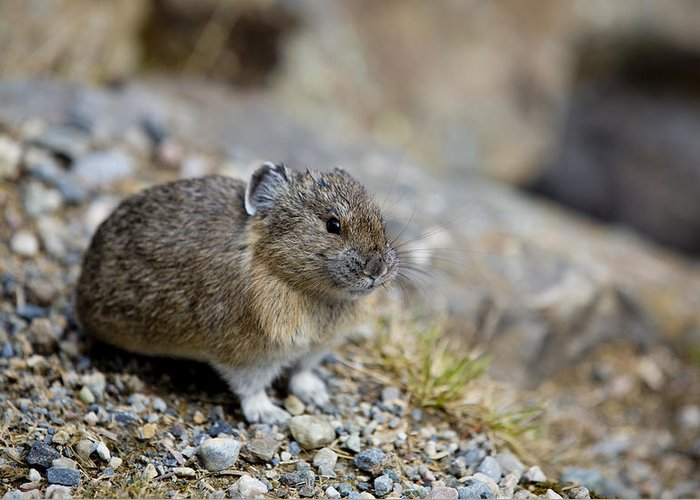 Pika Greeting Card featuring the photograph Pika by Michael James