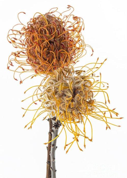 Pincushion Protea Greeting Card featuring the photograph Pincushion Protea by Ann Garrett