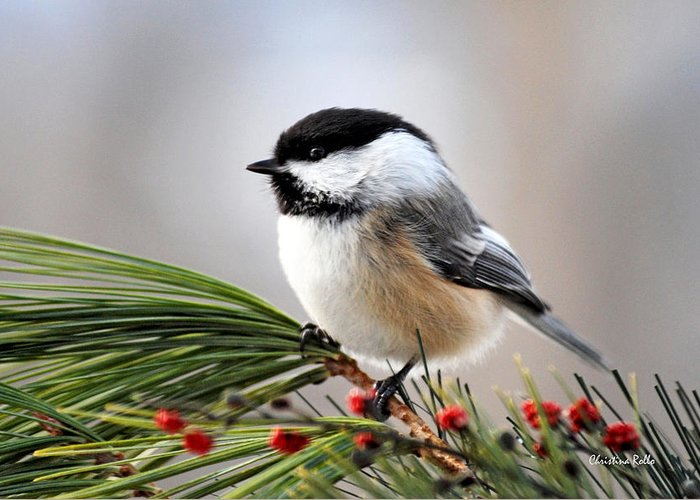 Black Capped Chickadee Greeting Card featuring the photograph Pine Chickadee by Christina Rollo