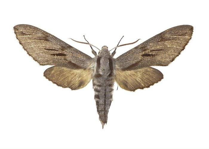Entomology Greeting Card featuring the photograph Pine Hawk Moth by Science Photo Library