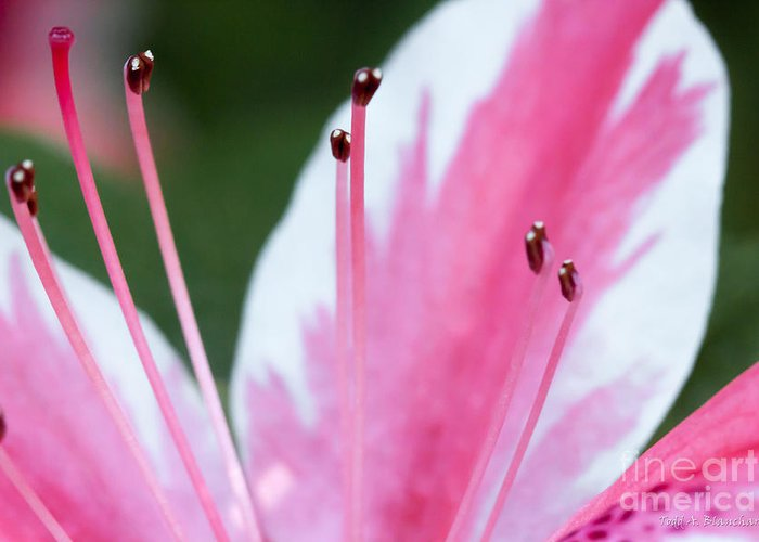Flower Greeting Card featuring the photograph Pink Azalea by Todd Blanchard