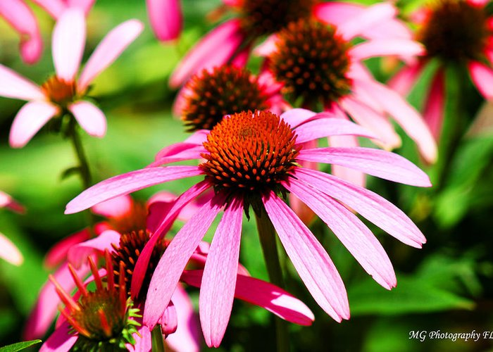Pink Greeting Card featuring the photograph Pink Beauty by Marty Gayler