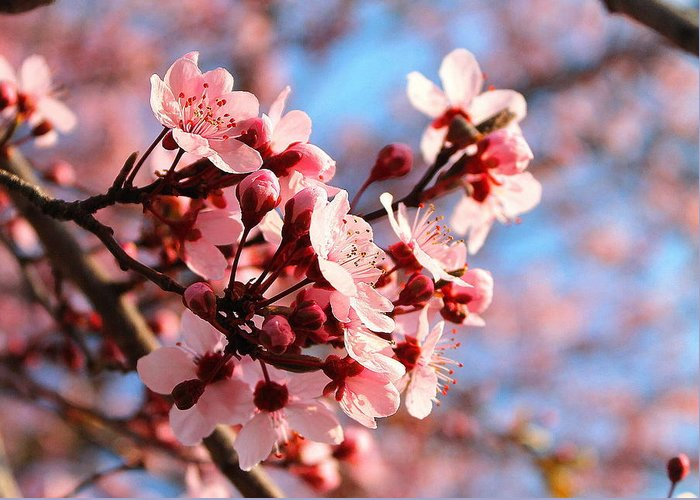 Cherry Blossom Greeting Card featuring the photograph Pink Cherry Heaven by Candice Trimble