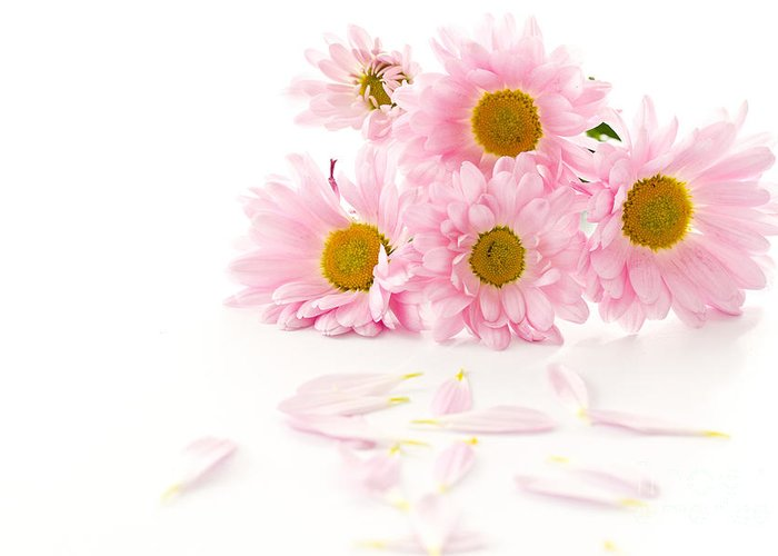 Pink Chrysanthemums Greeting Card featuring the photograph Pink Chrysanthemums Beautiful by Boon Mee