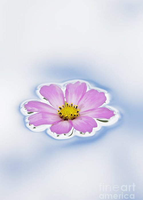 Pink Greeting Card featuring the photograph Pink Cosmos Flower Floating On Water by Tim Gainey