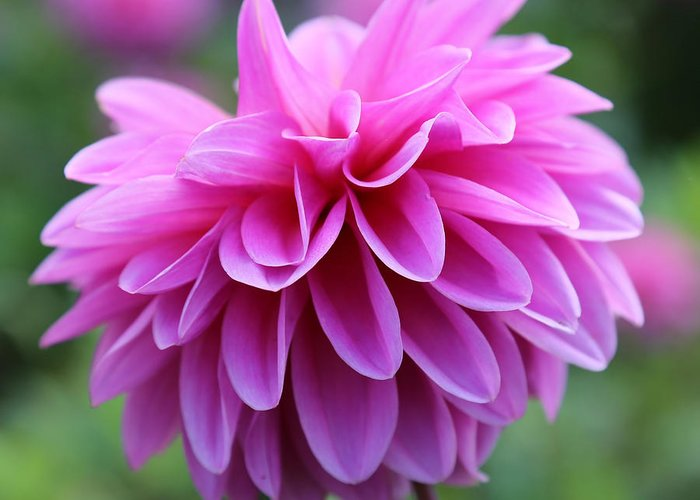 Pink Greeting Card featuring the photograph Pink Dahlia Closeup by Carol Groenen