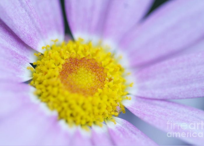Pink Greeting Card featuring the photograph Pink Daisy by Sean Stauffer