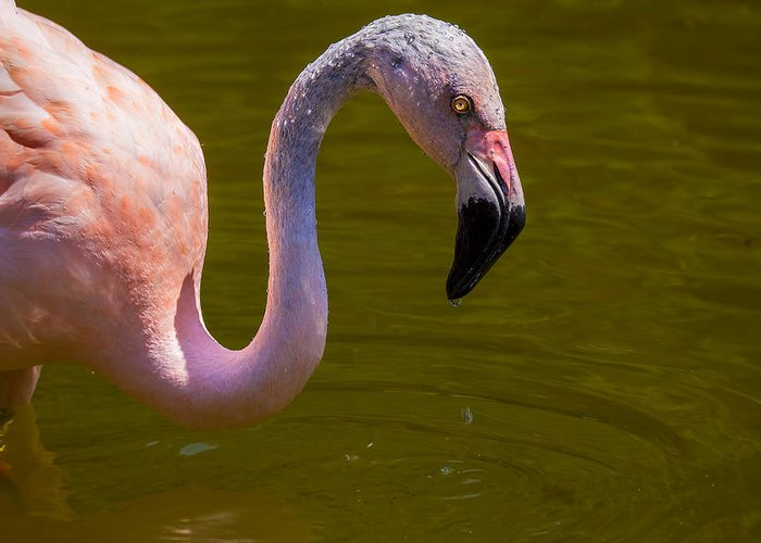 Pink Flamingo Greeting Card featuring the photograph Pink Flamingo by Garry Gay