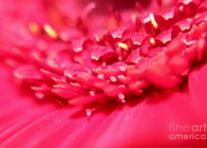 Daisy Greeting Card featuring the photograph Pink Germini Daisy by JM Braat Photography
