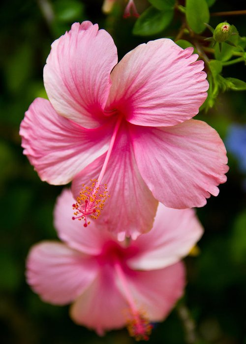 Pink Greeting Card featuring the photograph Pink Hibiscus Flowers by Nersibelis Photography