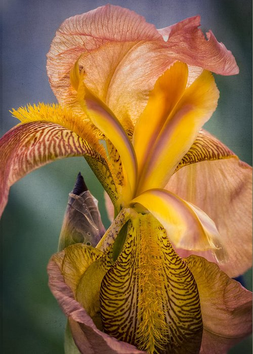 Spring Greeting Card featuring the photograph Pink Iris by Eduard Moldoveanu