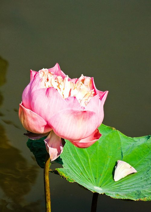 Abstract Greeting Card featuring the photograph Pink Lotus And Leaf In A Pond by Ammar Mas-oo-di