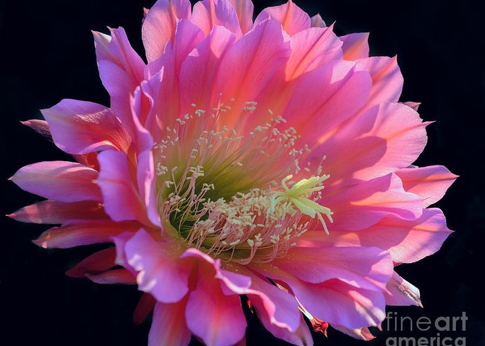 Pink Night Blooming Cactus Flower Greeting Card For Sale By Tamara