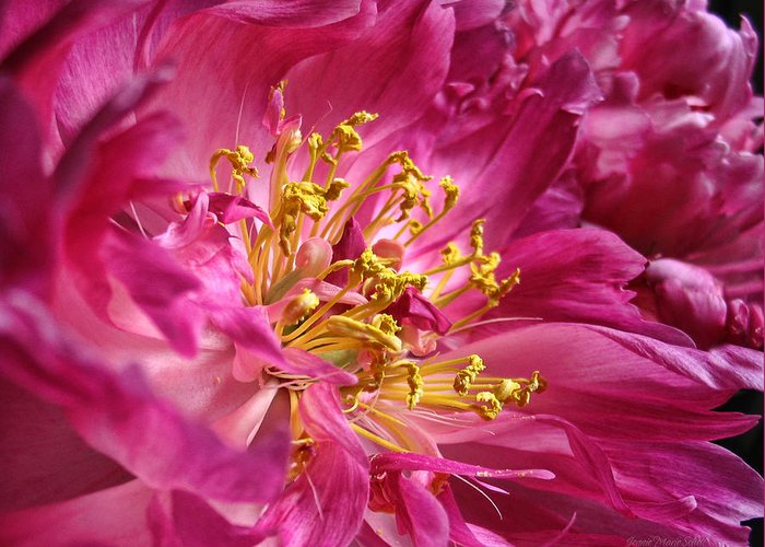 Peony Greeting Card featuring the photograph Pink Peony Flower Macro by Jennie Marie Schell