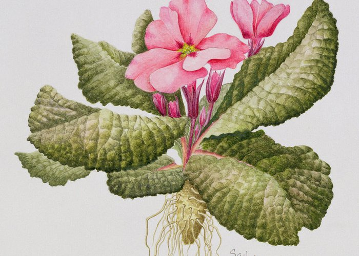 Pink Primroses Greeting Cards