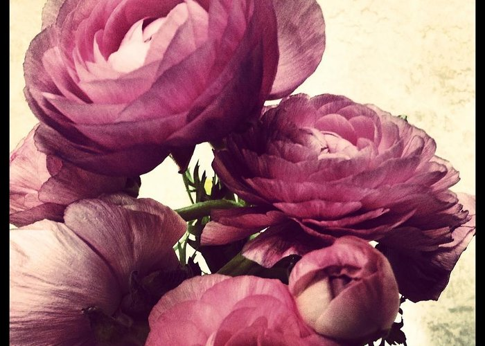 Ranunculus Greeting Card featuring the photograph Pink Ranunculus by Heather L Wright