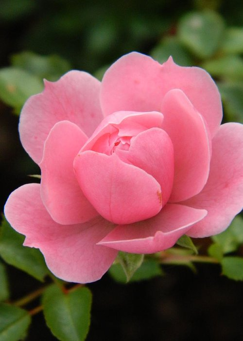 Pink Greeting Card featuring the photograph Pink Rose Bloom by Nicki Bennett
