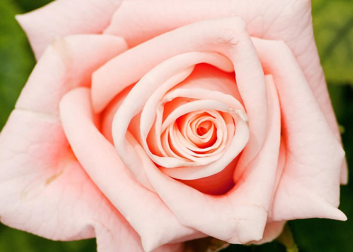 Rose Greeting Card featuring the photograph Pink Rose by Don Johnson