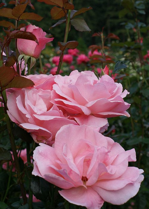Pink Eoaw Greeting Card featuring the photograph Pink Rose Group I by Jacqueline Russell
