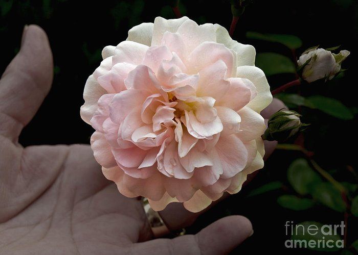 Bloom Greeting Card featuring the photograph Pink Rose by Howard Stapleton